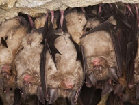 Horseshoe bats (c) photolibrary.com
