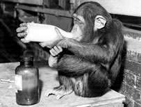 Chimp drinking milk