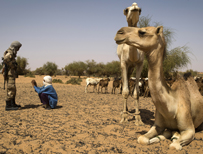 Camels in Mali