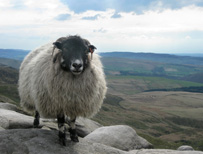 Sheep in the Peak District