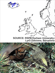 Scottish crossbill - projected