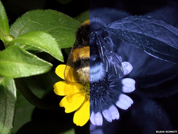 Database shows how bees see world in UV - BBC News - photo#27