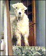 A sheep looks down from the top of the Dawsons' stairs