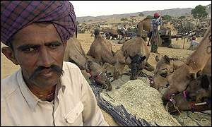 Camels beings fed