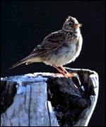 skylark on tree stump
