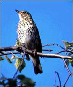 song thrush on twig