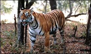 Tiger at Ranthambore, India
