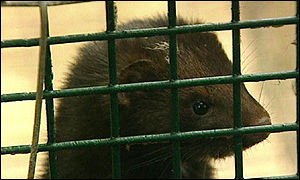 Mink at fur farm