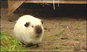 Sooty the guinea pig