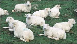 Sheep BBC