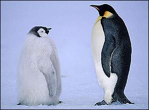 Penguins BBC Wild