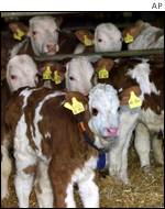 German cows from a BSE infected herd