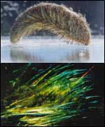 Sea mouse University of Sydney, Australia
