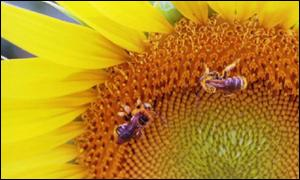 honeybees and sunflower