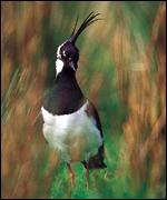 lapwing in field