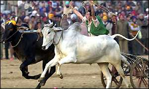 Bull cart racing in Punjab