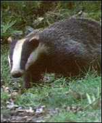 Badgers are thought to infect cattle with tuberculosis