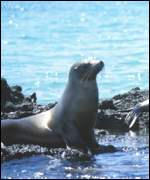 basking sealion