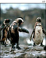 Jackass Penguins, Robben Island, South Africa (June 2000)