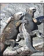 Iguanas on Galapagos Islands