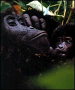 gorilla mother and infant