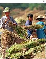 Harvest in Vietnam