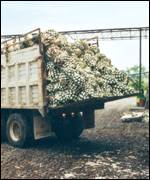 Truck of agave plants