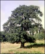 [ image: The Druids believe the mighty oak represents the powerful sun]