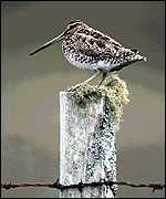 [ image: Snipe: no better off in protected sites <I>Photo: RSPB</I>]