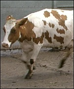 A cow suffering from BSE