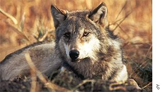 Grey wolf accused of killing sheep