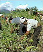 Workers in a coca field, Colombia