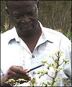 IITA scientist Alfred Dixon indicates diseased cassava