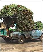 Cassava leaves heading for Kinshasa for sail in the markets