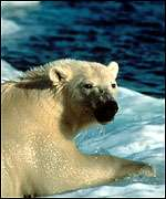 polar bear on floe