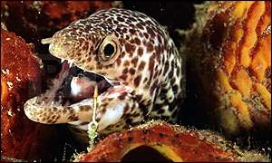 Spotted moray eel with fish hook caught in its mouth in the Caribbean BBC Wild
