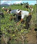 People picking coca crops in Colombia