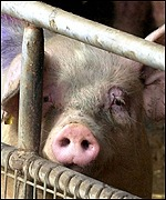 A pig in East Yorkshire, where farms are under inspection for foot-and-mouth