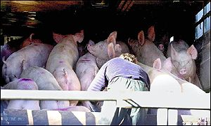Pigs on transporter