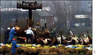 Slaughtered cattle are lifted onto a pyre at Great Warley, Essex