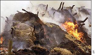 Cattle carcasses being burnt