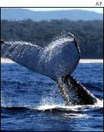 Whale waves flukes AP