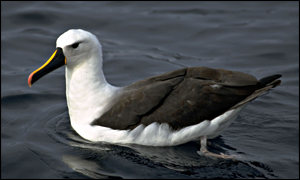 Yellow-nosed Albatross (photo: BirdLife International)