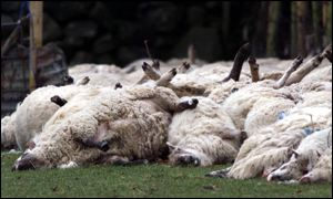 Slaughtered sheep at a farm in Co Louth on the border with Northern Ireland