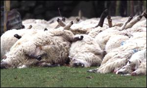 The culling of sheep in Northern Ireland is announced.