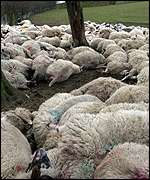 Dead sheep awaiting burial