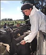 A vet vaccinates a cow against foot and mouth