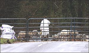 Forest of Dean sheep being rounded up