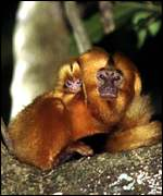 Tamarin infant on mother's back WWF