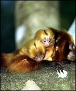 Mother tamarin with twins WWF
